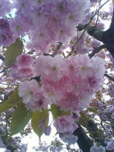 et vell av rosa blomster på trærne i sandvika