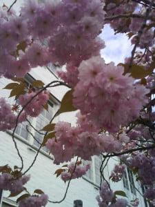 mer-rosa-trær