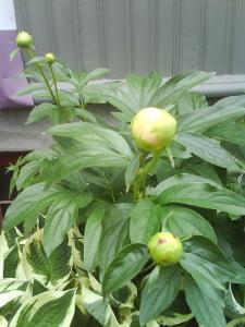 peoner i haven