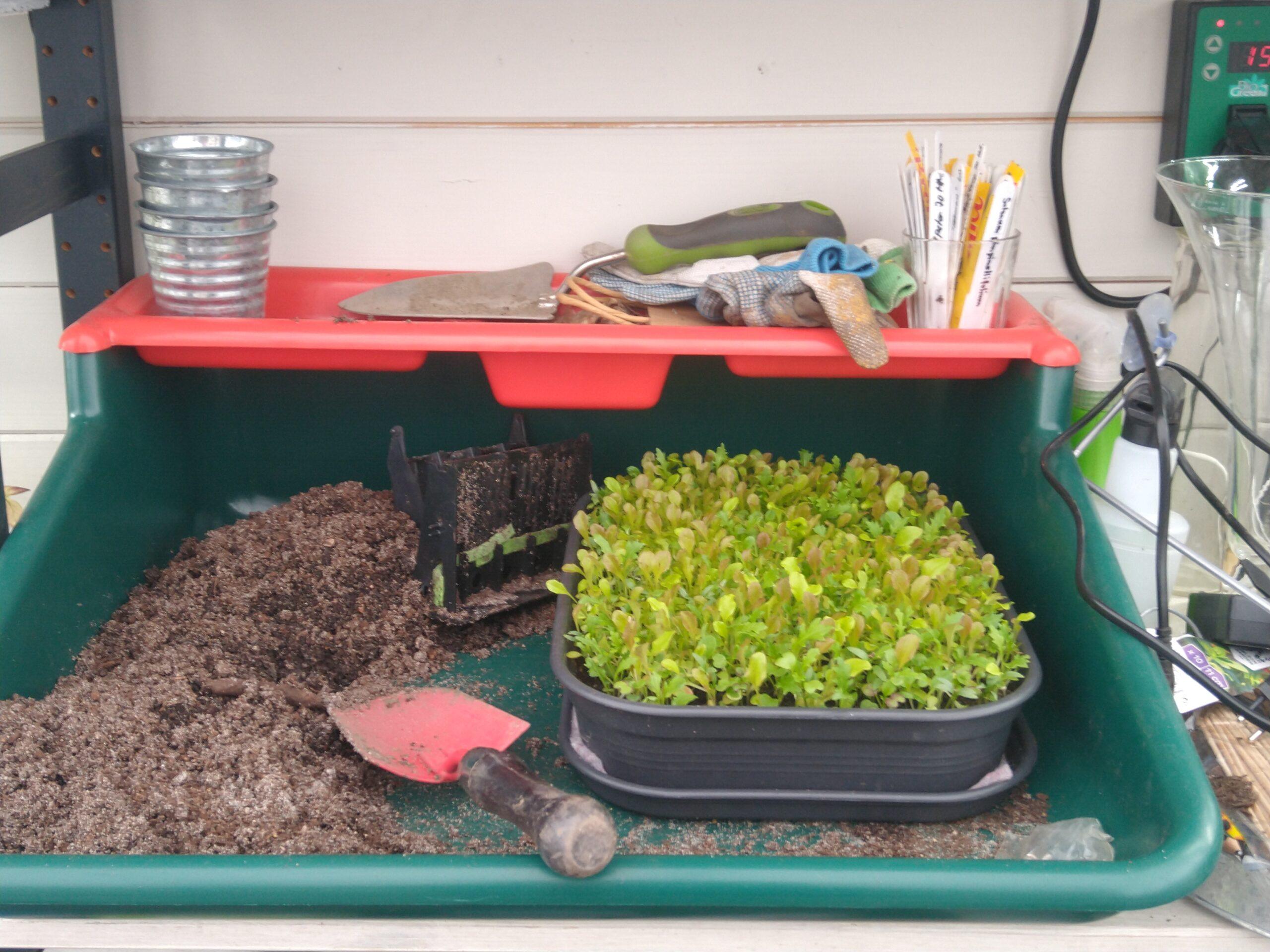 Arbeidsbrettet i drivhuset med salatsådd