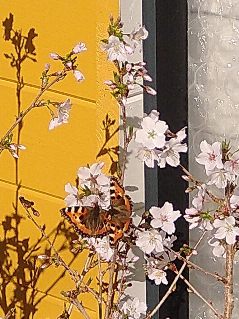 20210401 Nestlesommerfugler på prunus nipponica